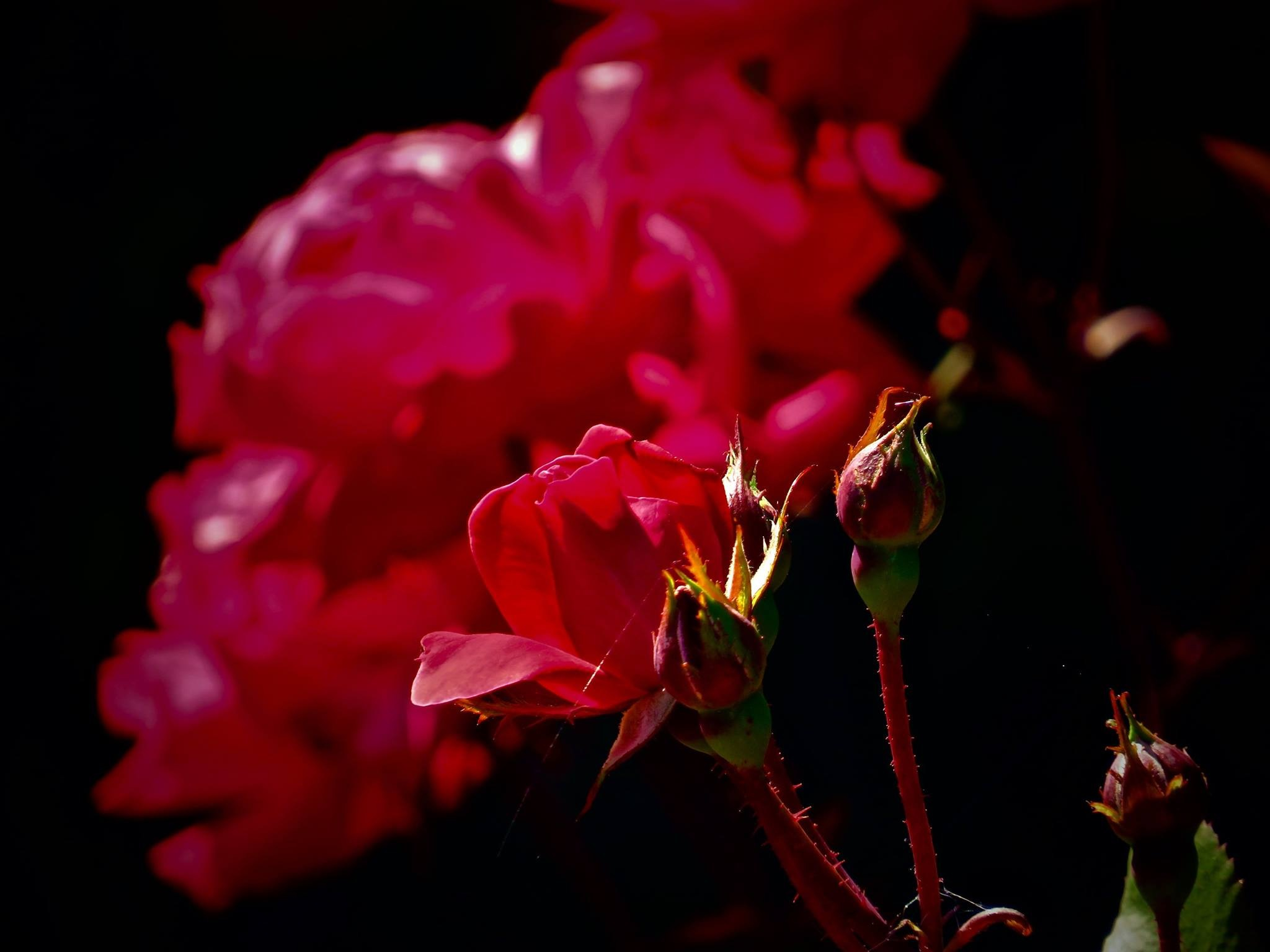 the famous roses of the empress hotel in victoria b.c. canada by David Devion