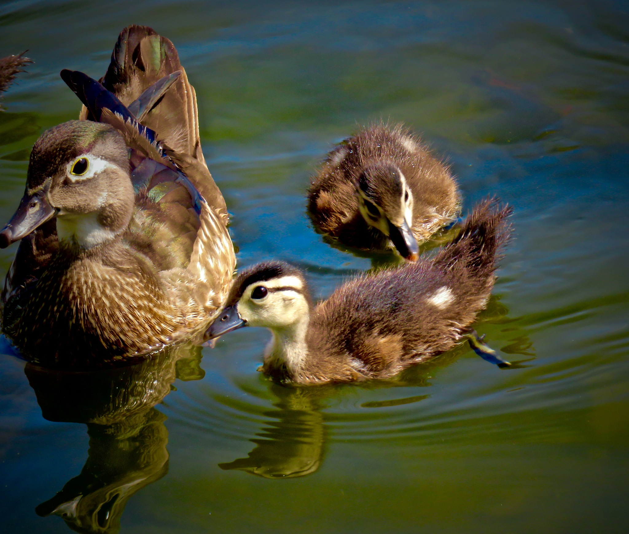 soon the new baby duckies shall be at play !! by David Devion