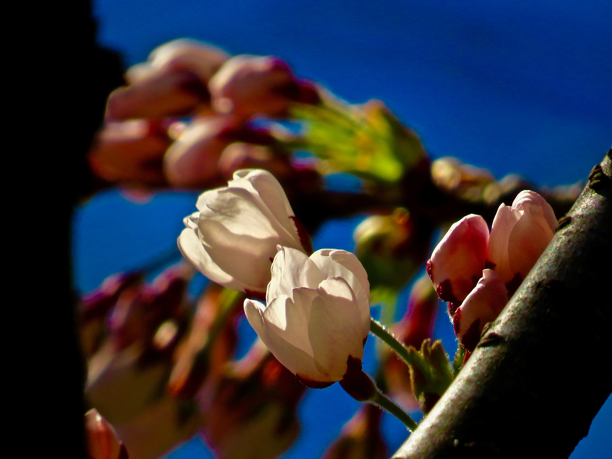 enjoying the cherry blossoms here while we can !! by David Devion
