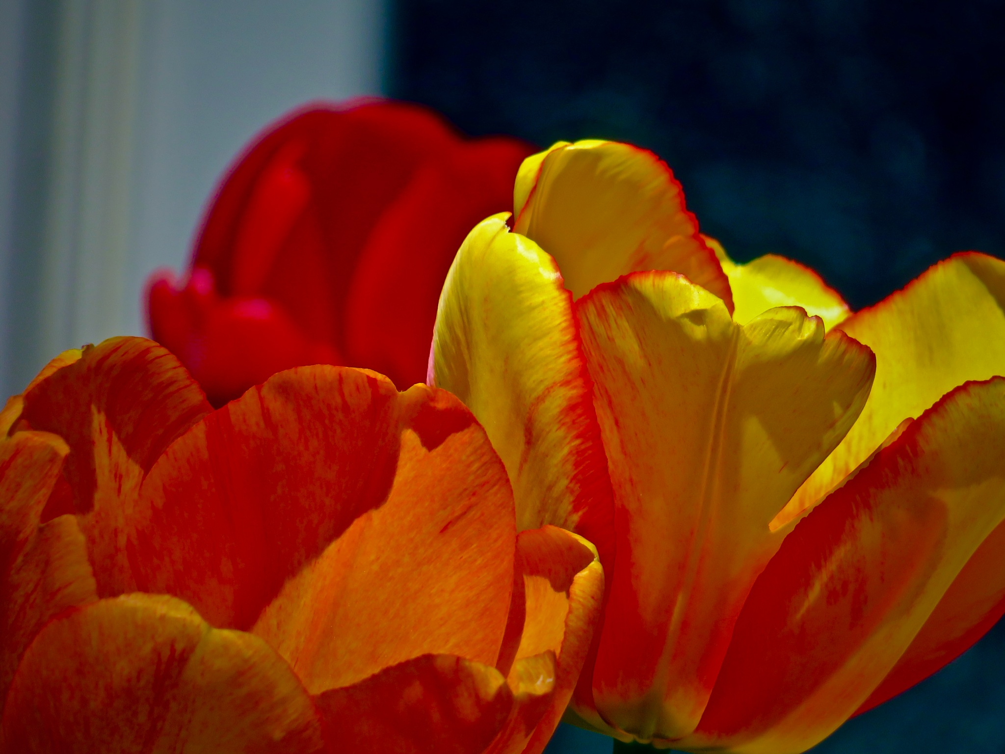 as the tulips are discovered being out n about  by David Devion