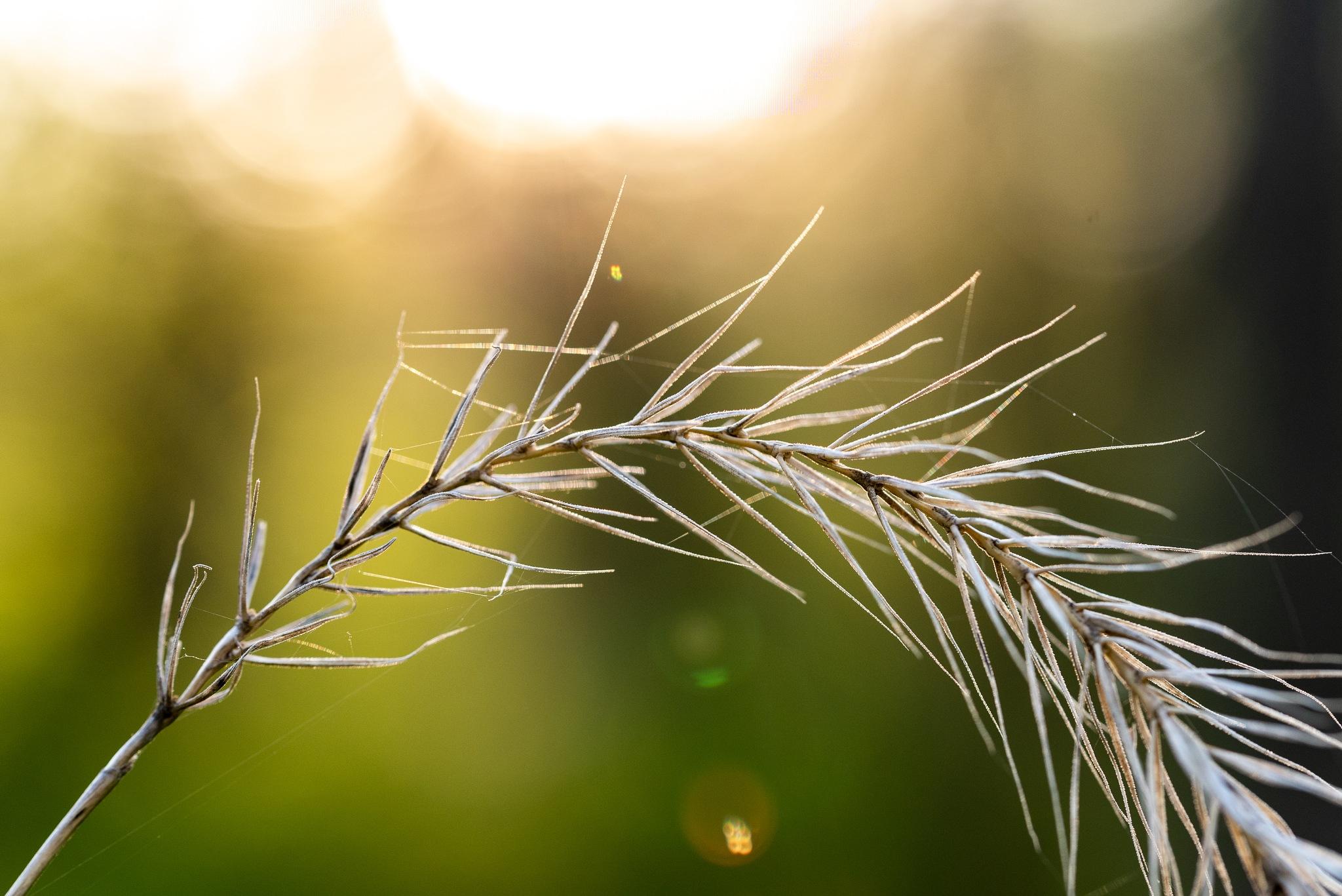 Golden Grass by Gruca_joe