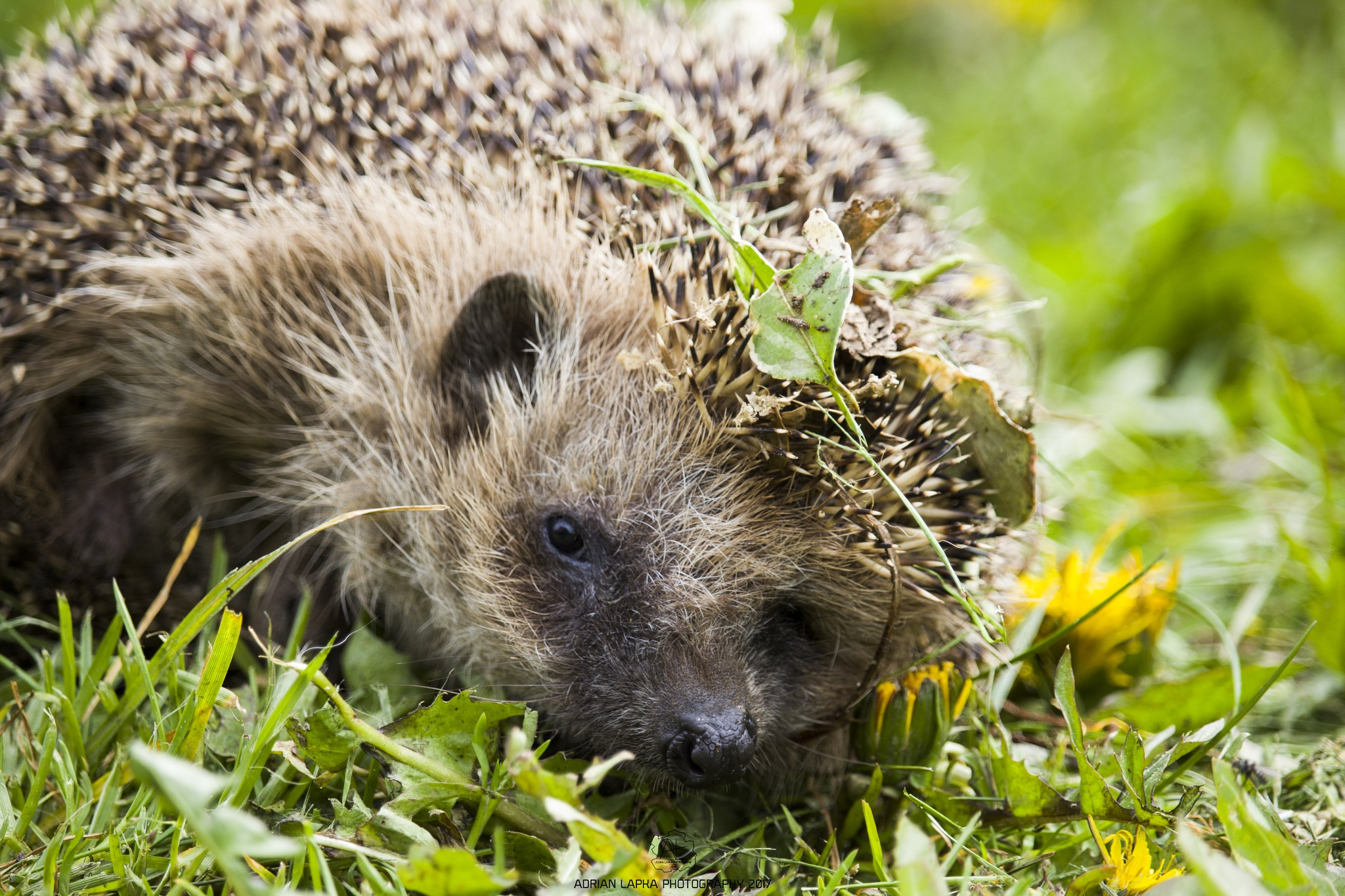 Hedgehog by Public Transport Photography