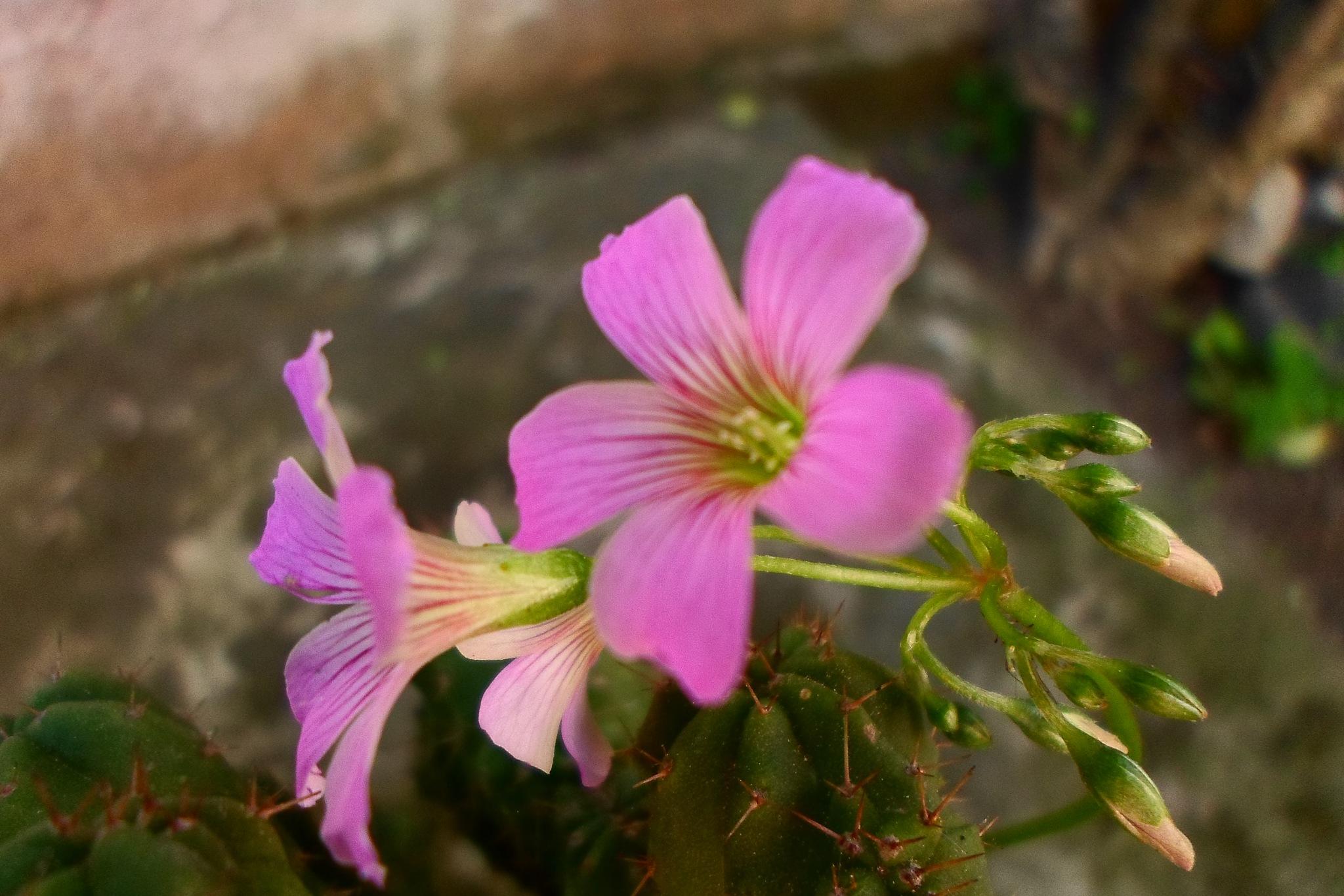 Photo in Macro #puas #flor #cactus