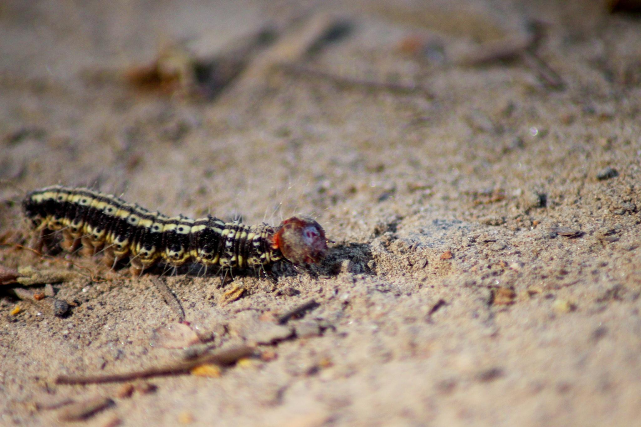 "Caterpillar by Mazhar Ul Karim ""Shanto"""