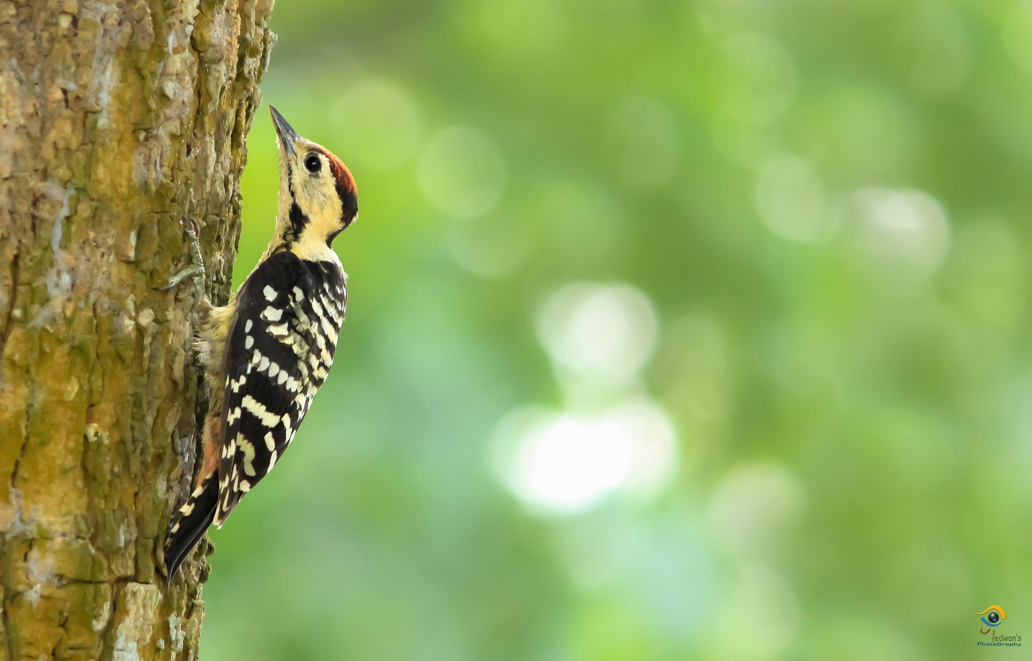 Photo in Animal #golden woodpecker #woodpecker #animal #bird