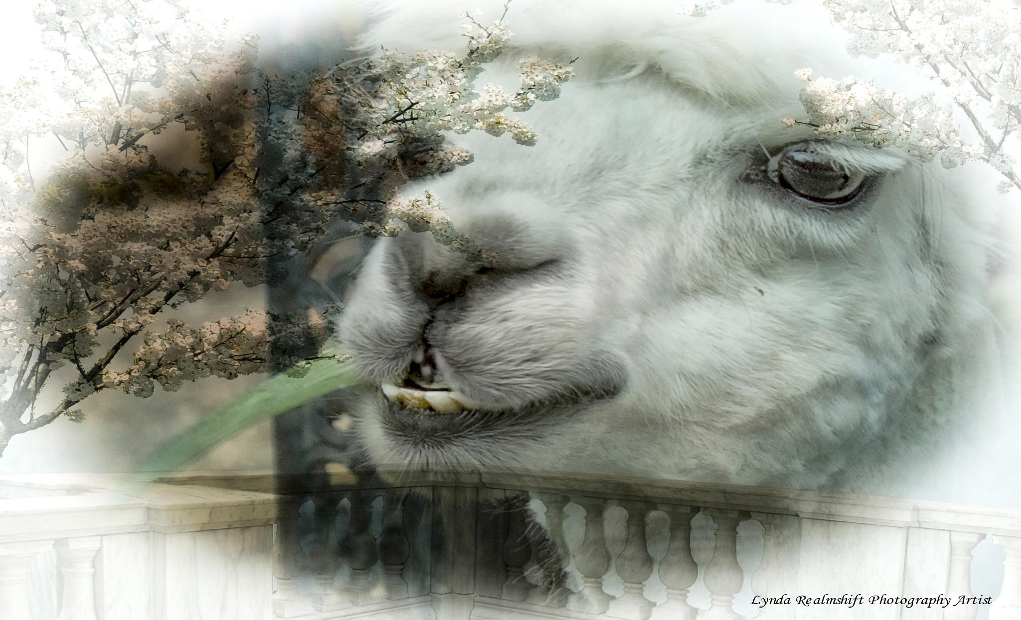 Alpaca by LyndaRealmshift