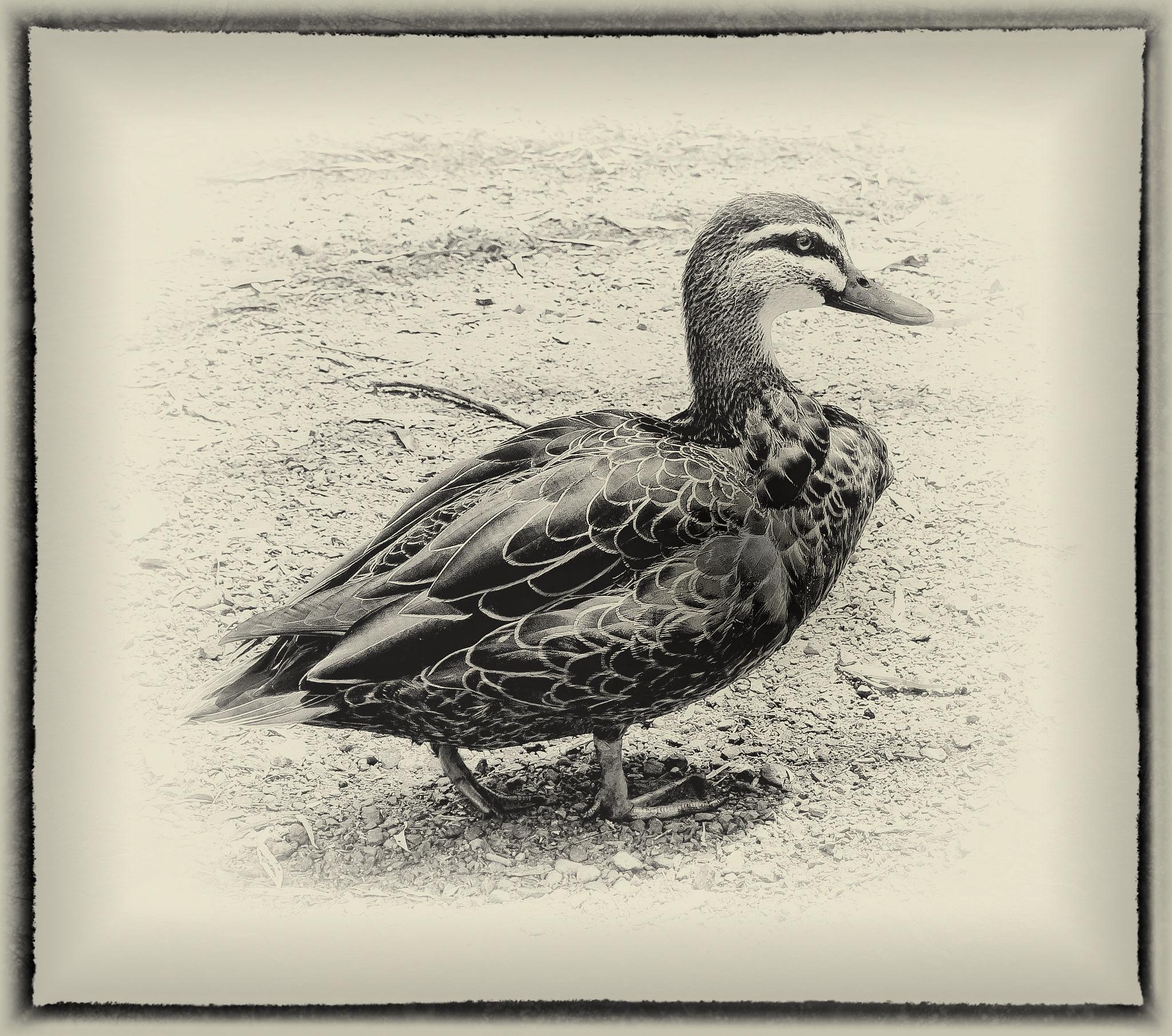 Wood Duck by LyndaRealmshift