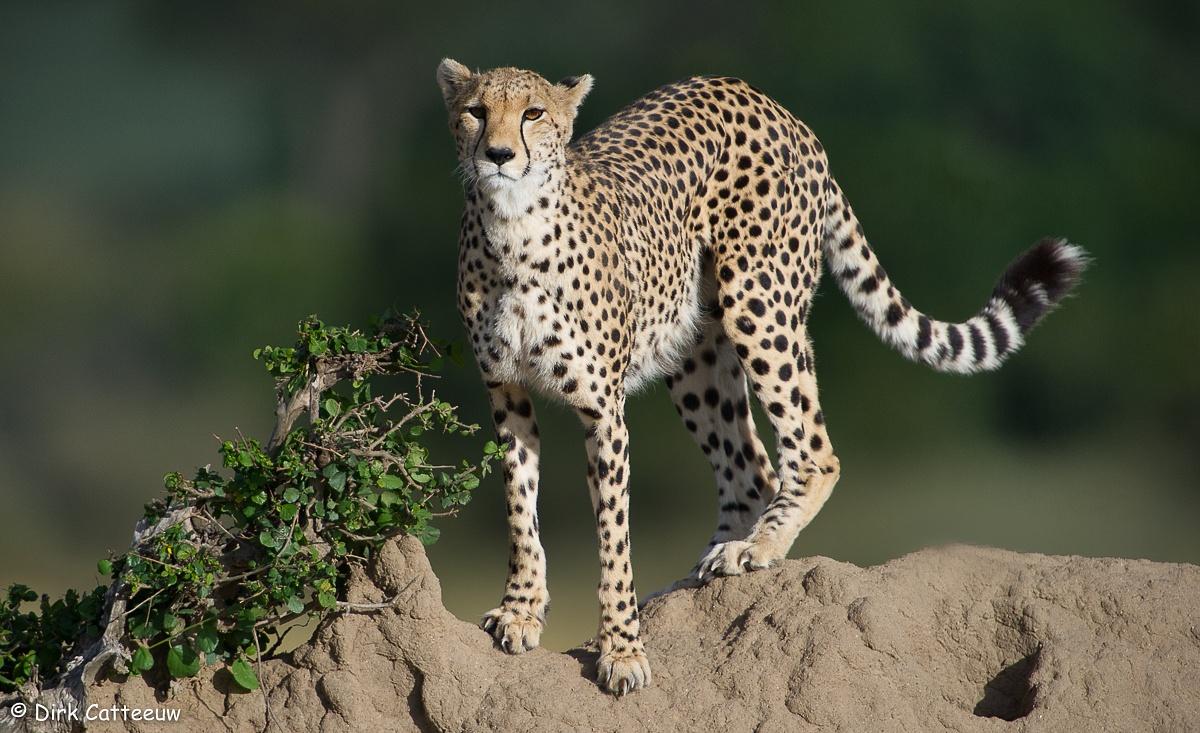 Cheetah by dirkcatteeuw