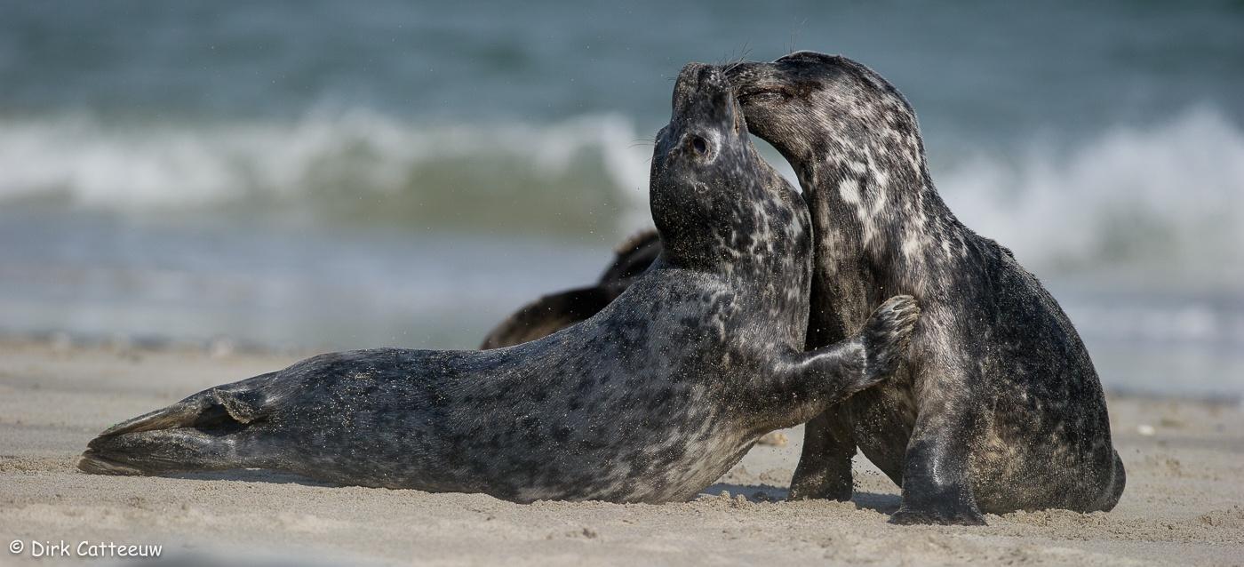 Seal love by dirkcatteeuw