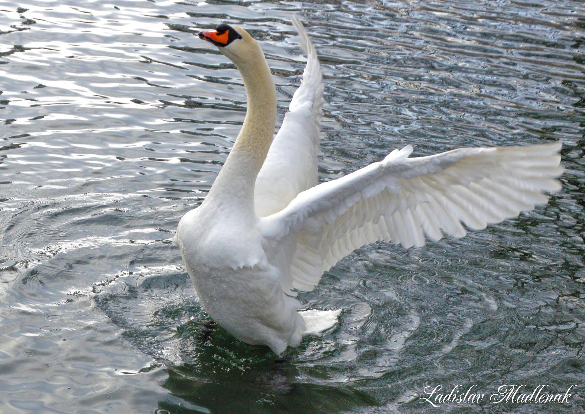 Swan Lake by LLadislav Madlenak