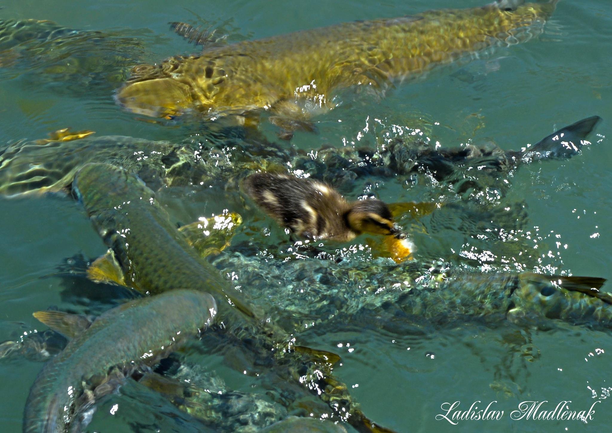 Duckling  and fish by LLadislav Madlenak