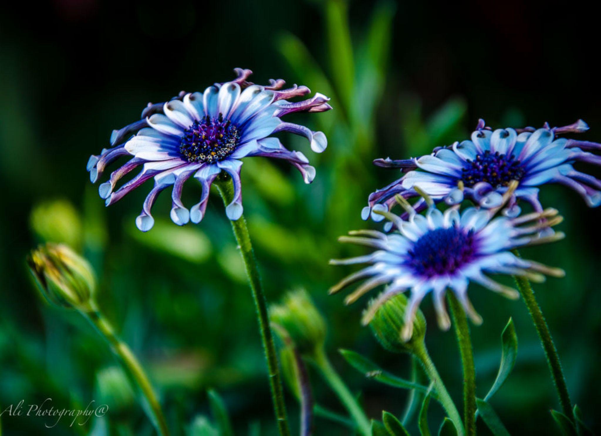African daisy by Ali Saadat
