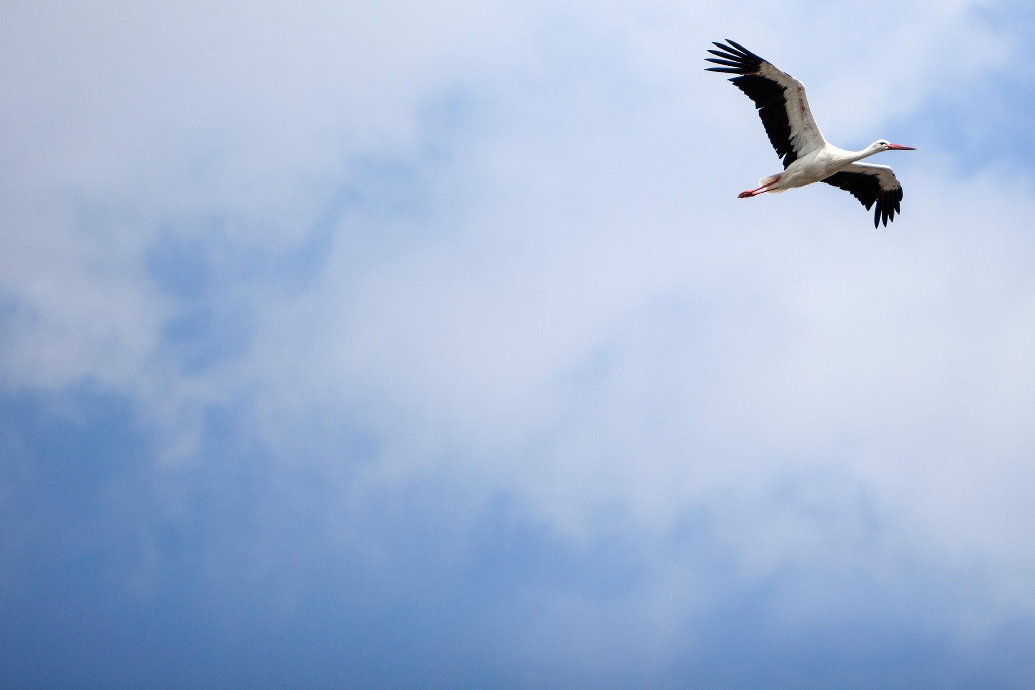 Stork by Patrick van Gemert