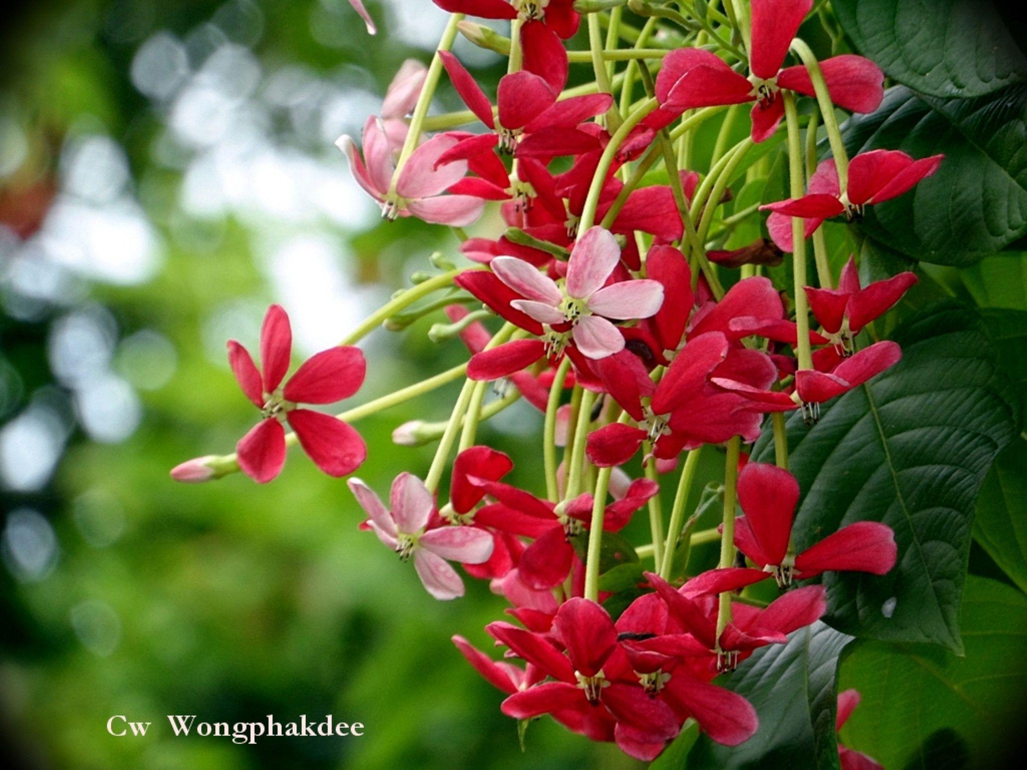 Dokmai by Wongphakdee