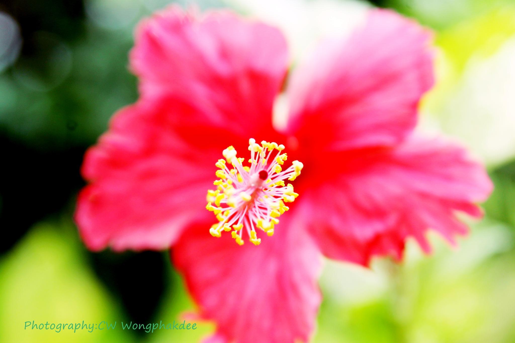Chaba flower by Wongphakdee