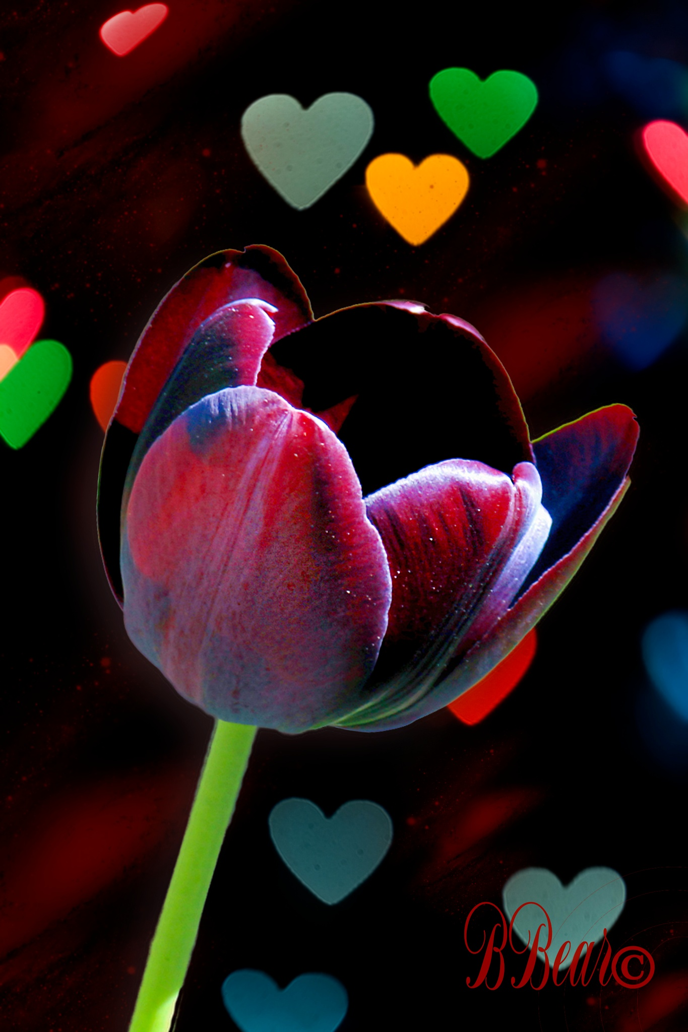 TULIP  MY  LOVE by BARNEYBEAR
