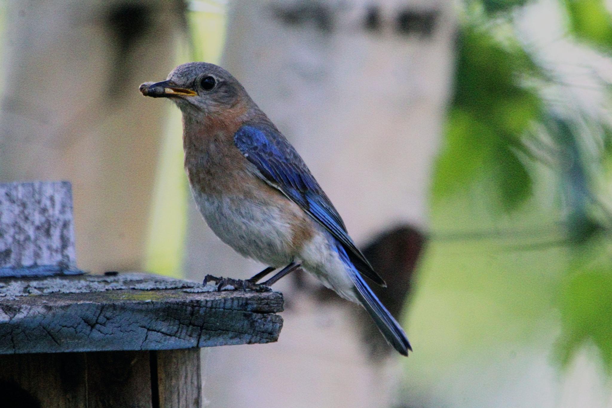Female Eastern Blue Bird by Matthew Brian Greffe