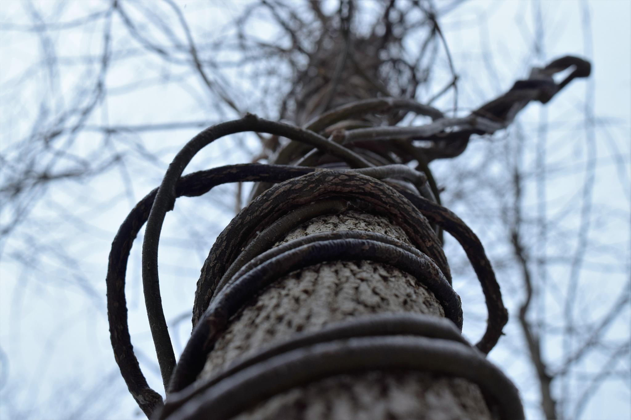 Vines go up a tree by Matthew Brian Greffe