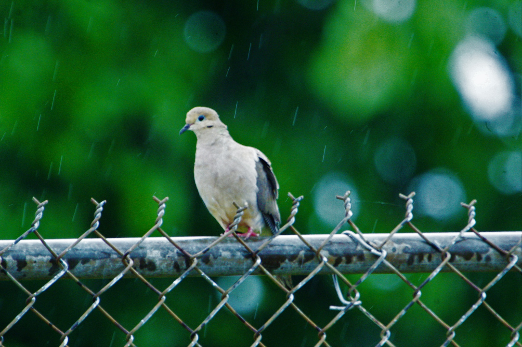 mourning dove in the rain  by Matthew Brian Greffe