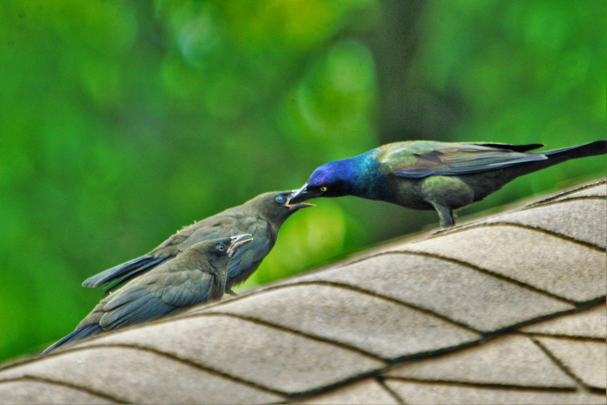 Baby Graco birds feeding form the mother by Matthew Brian Greffe