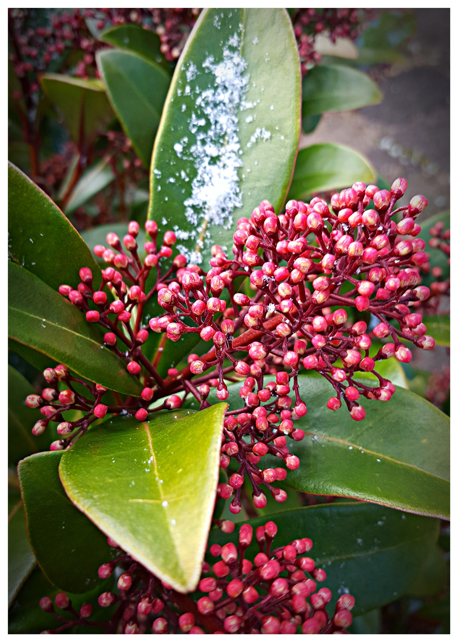 Skimmia in the Snow by Yvonne Lewis