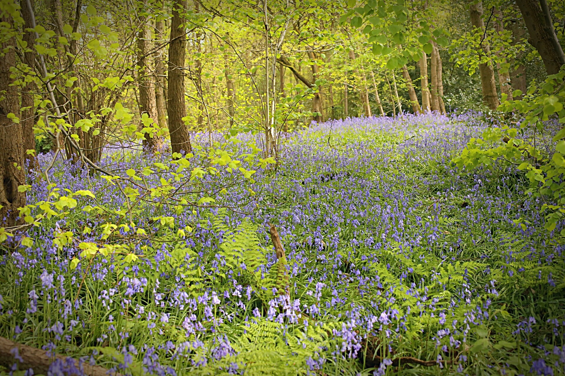 Blue Bell Woods by Yvonne Lewis