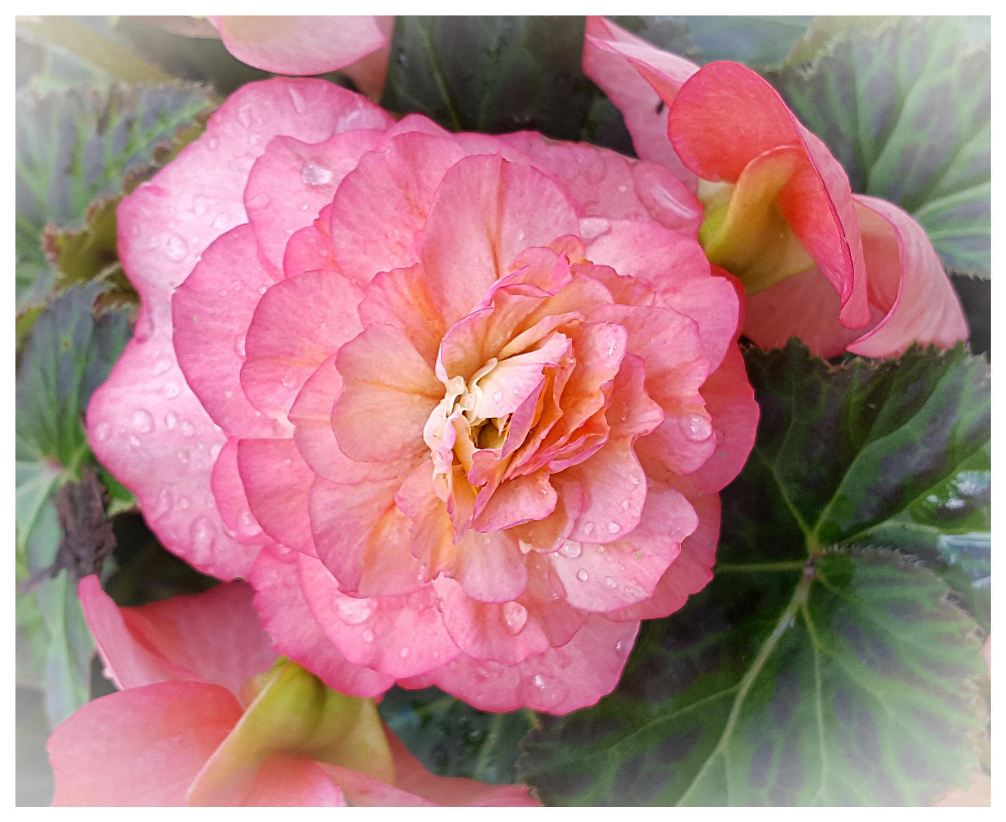 Pink Begonia  by Yvonne Lewis