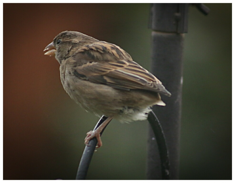 House Sparrow Female by Yvonne Lewis
