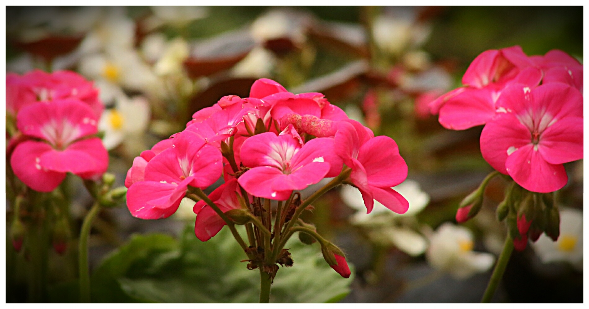 Late Geraniums by Yvonne Lewis