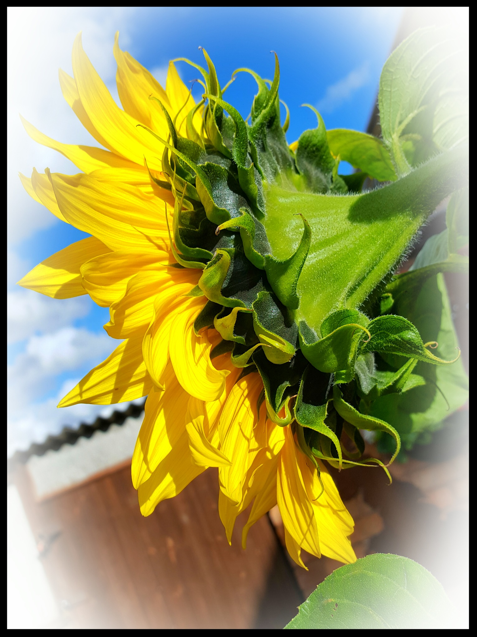 Sunflower View by Yvonne Lewis