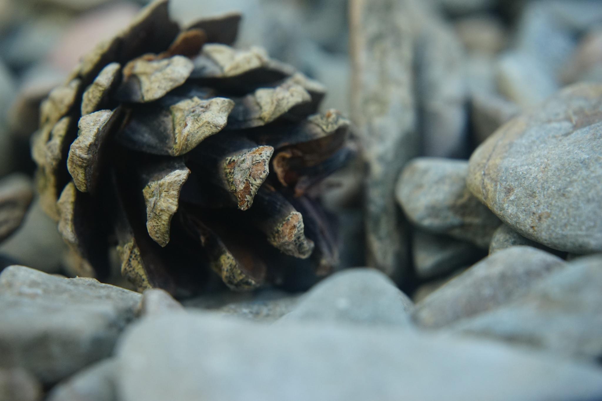 Seedless pinecone by Isaac Matthews