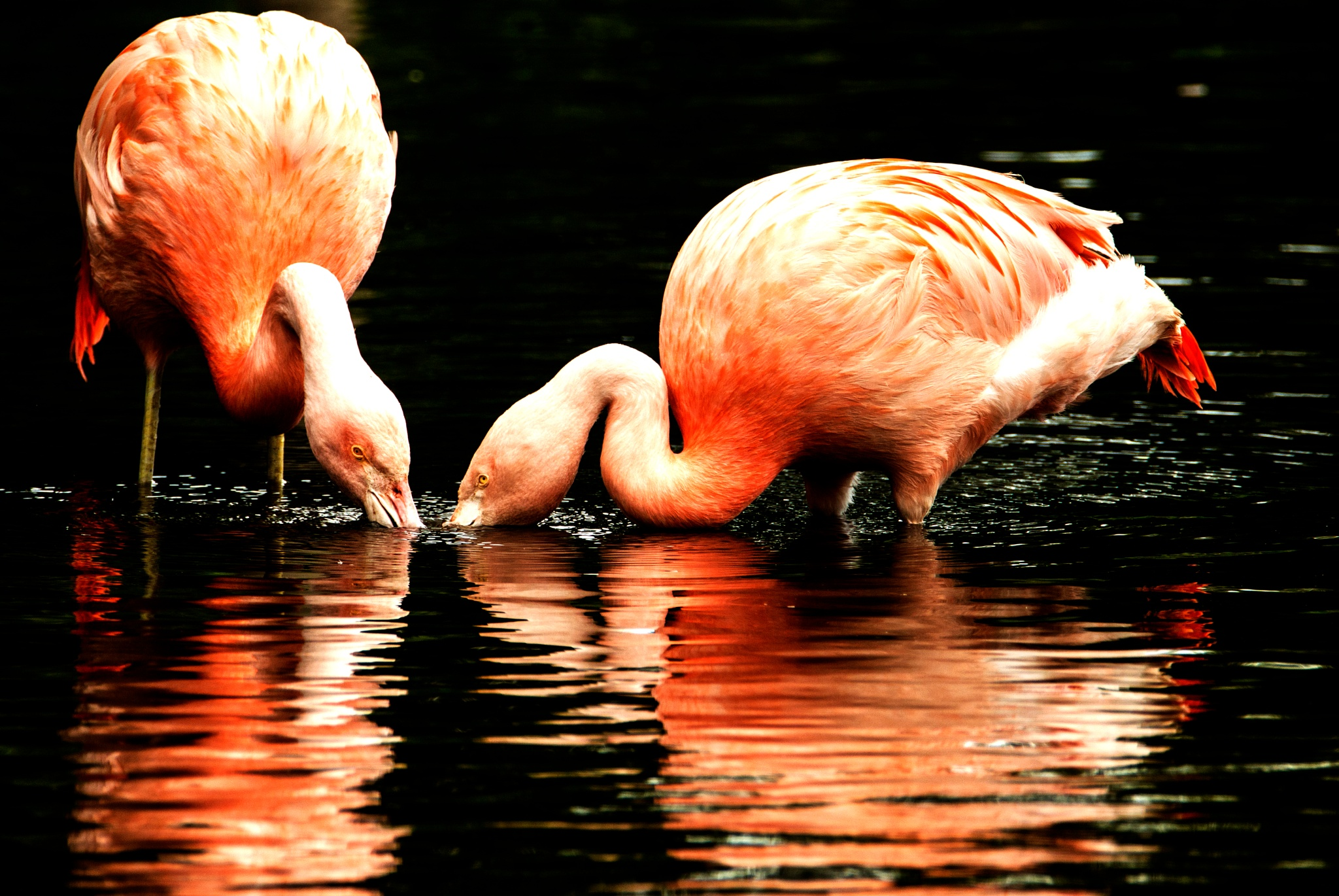A Pair of Flamingos by Wizard