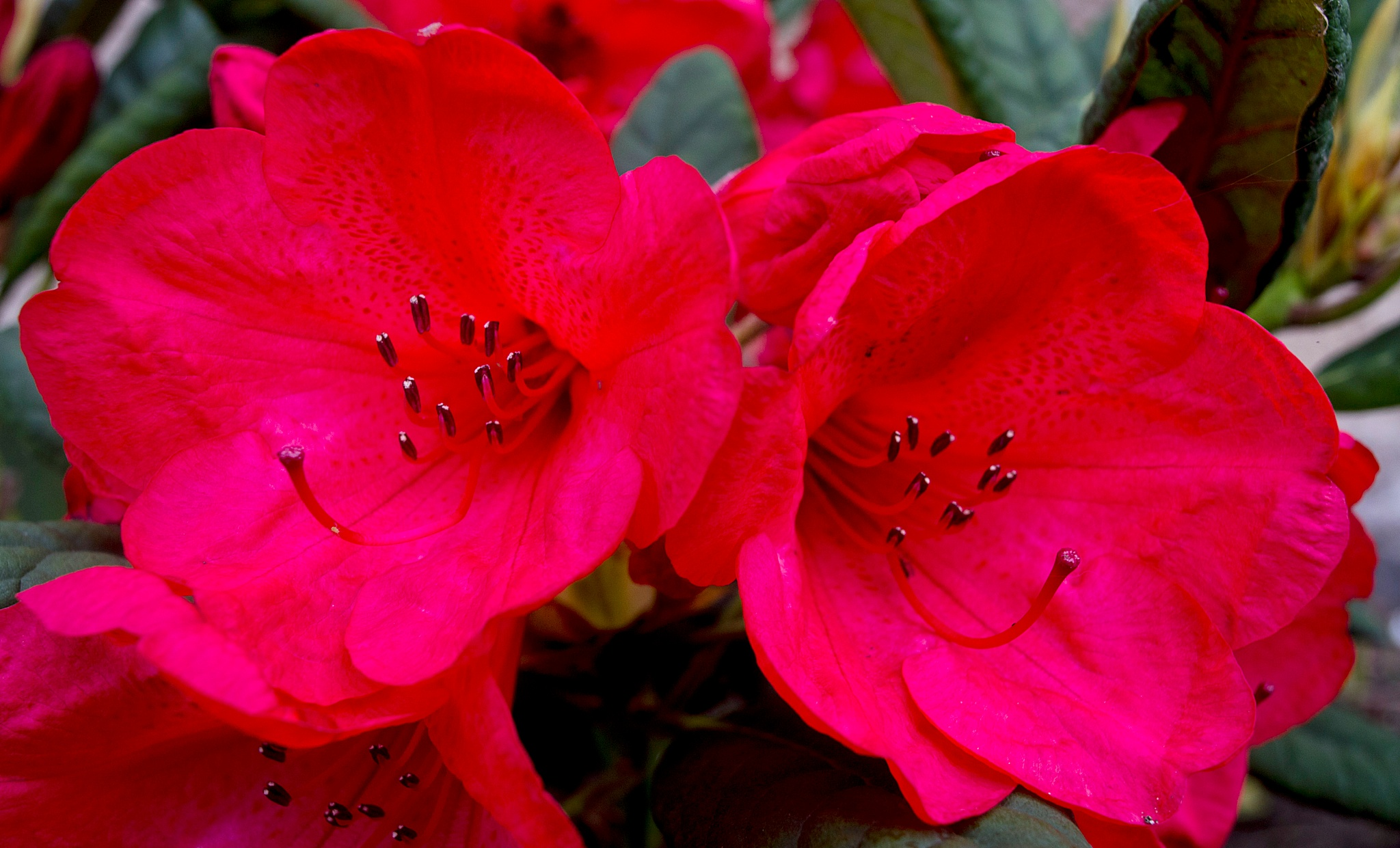 Red Rhododendron by Wizard