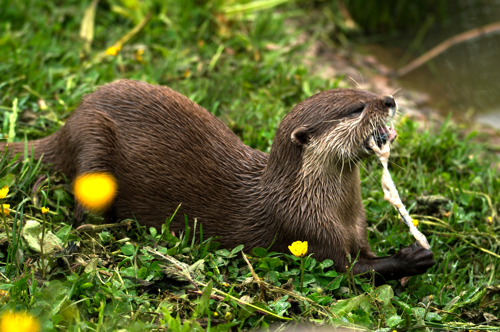 Asian Otter by Wizard