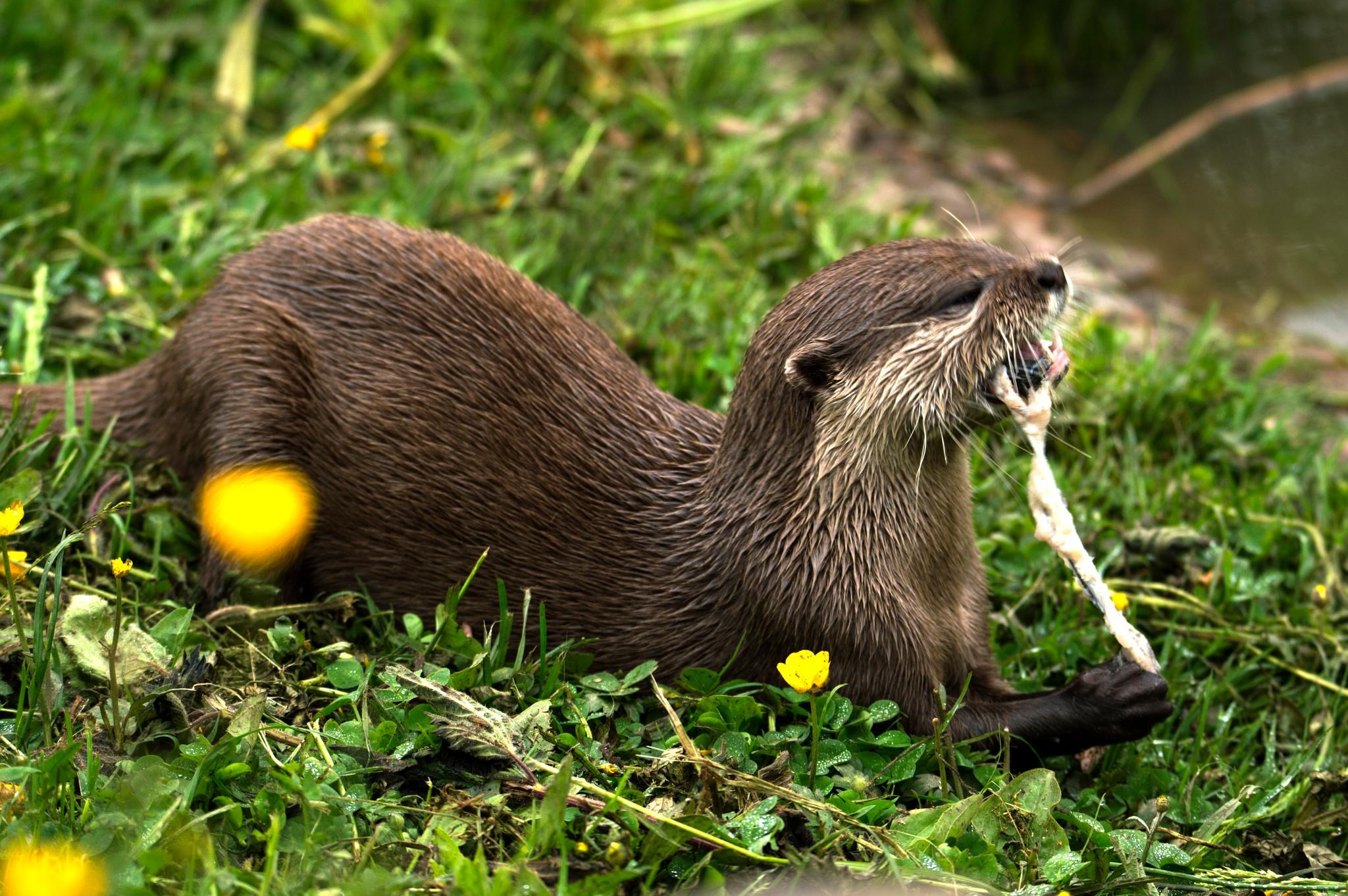 Photo in Animal #animals #otter #random #wildlife