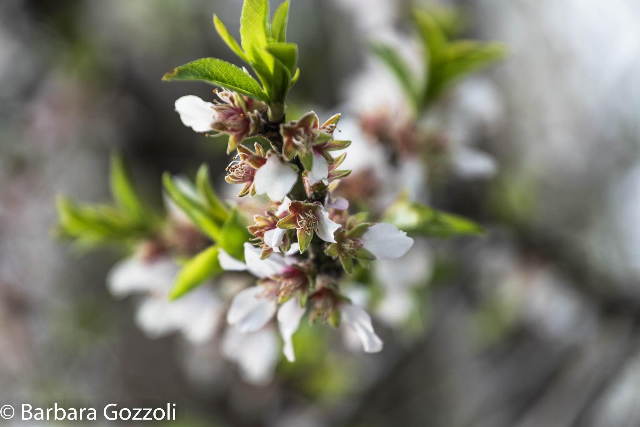 primavera by BarbaraGozzoli
