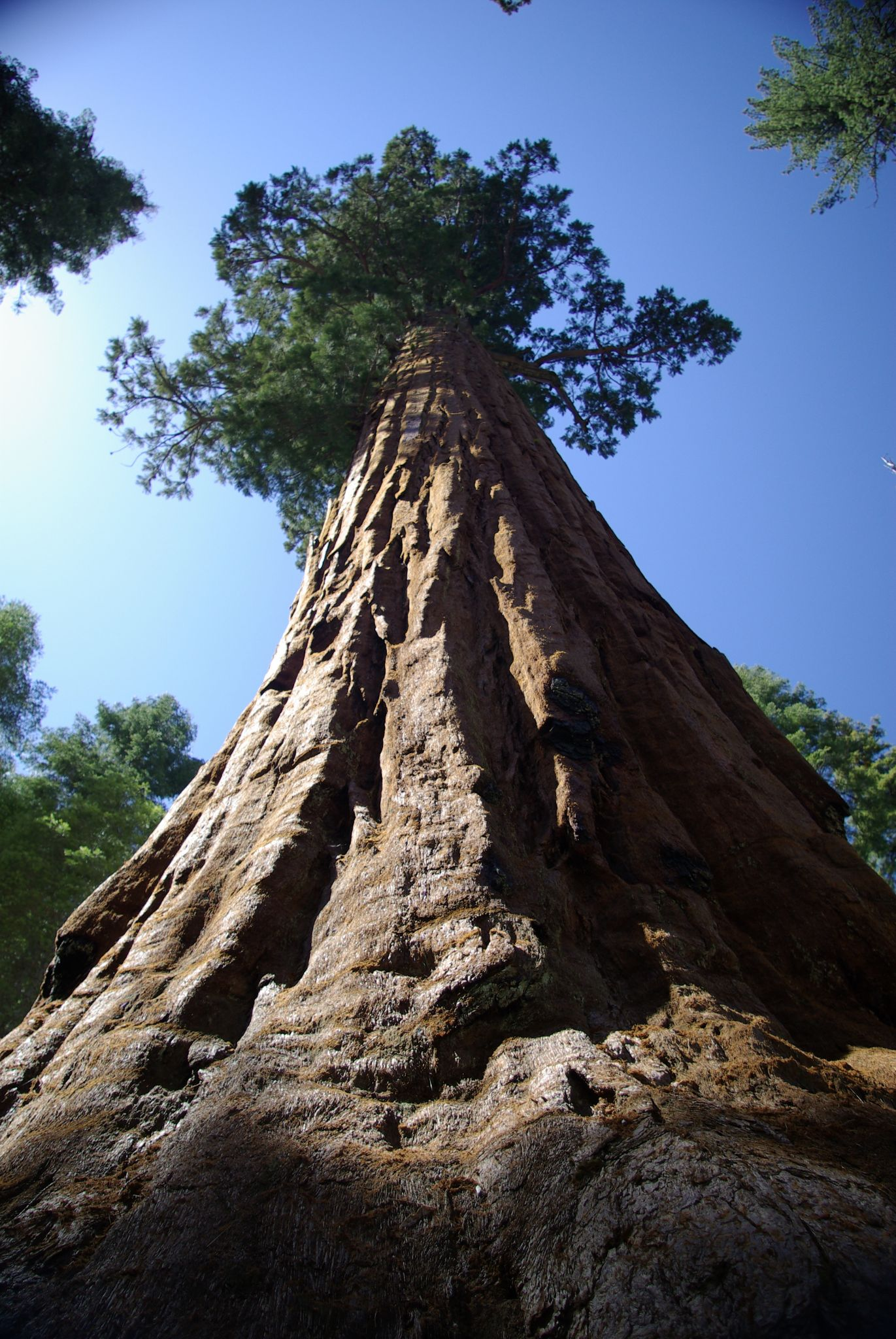 Sequoia by Daniël Ost