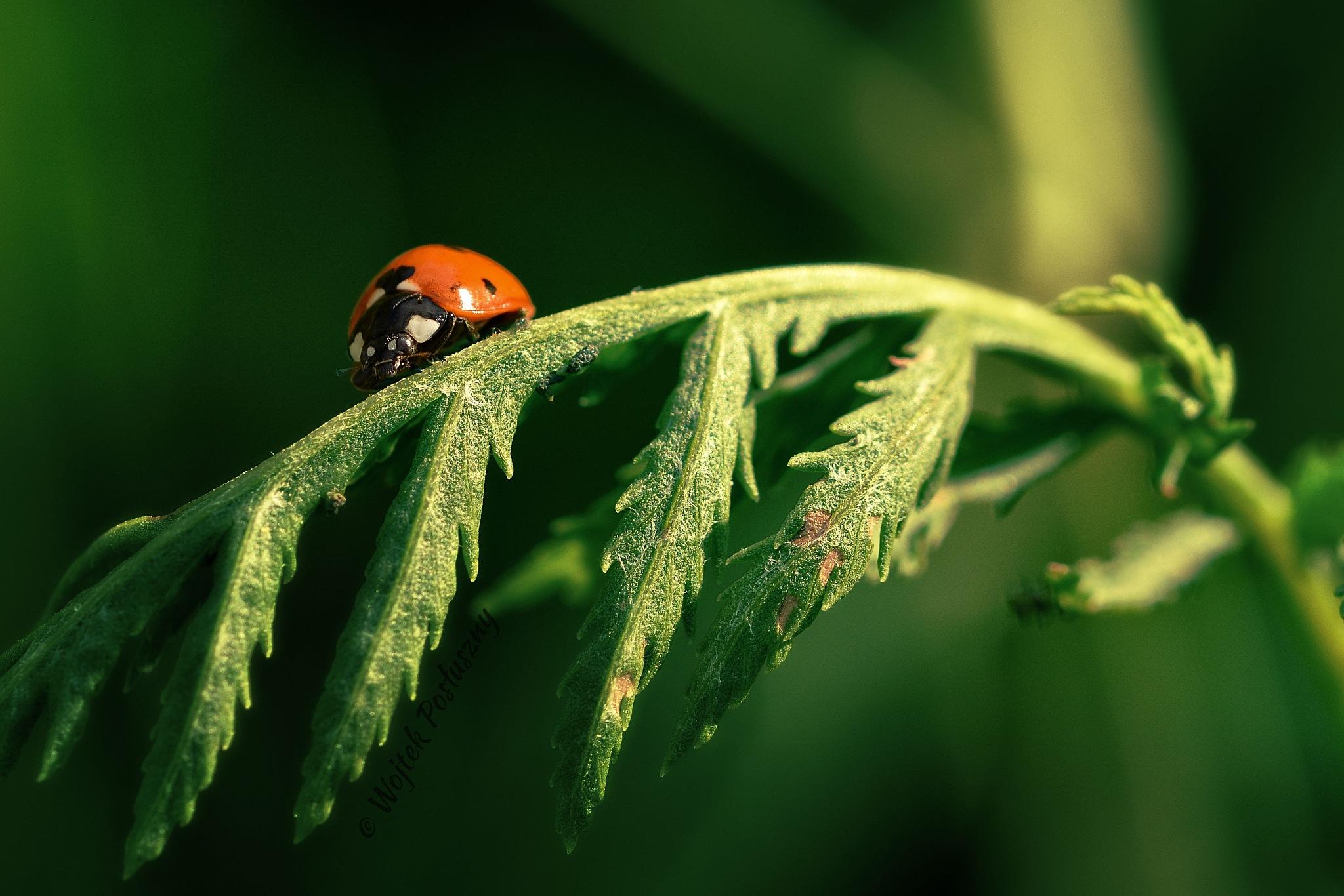 Ladybug by Wojtek Posłuszny