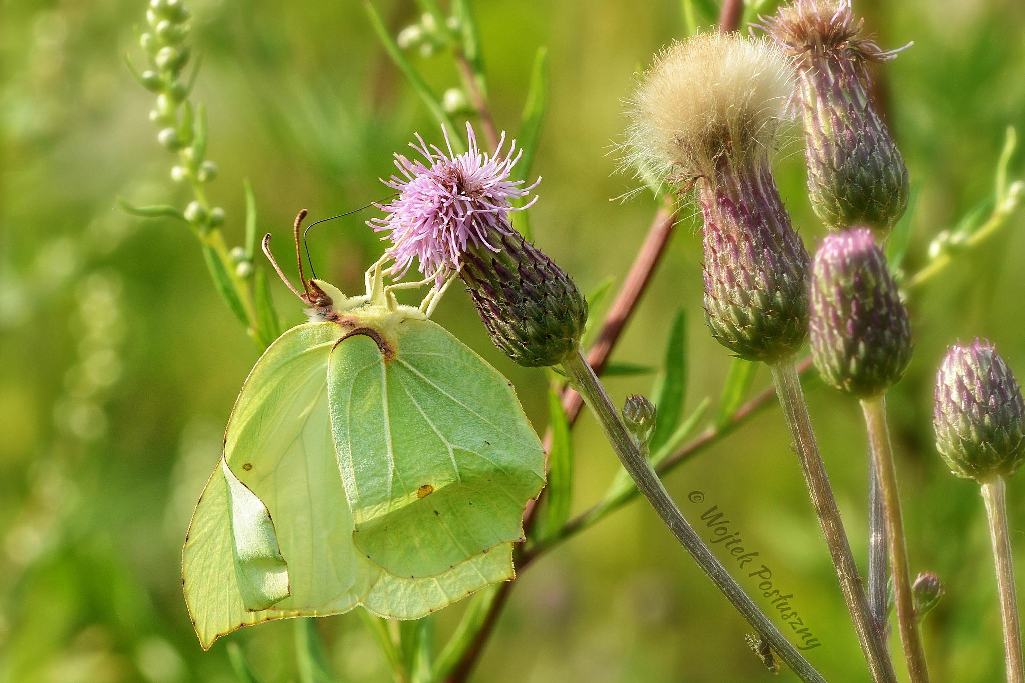 Butterfly by Wojtek Posłuszny
