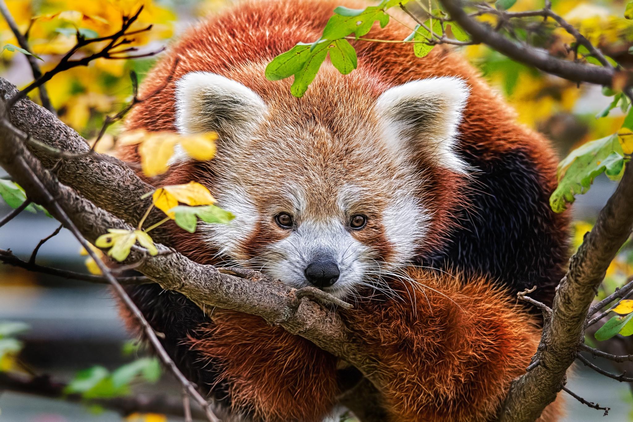 Red Panda by John Greg Jr