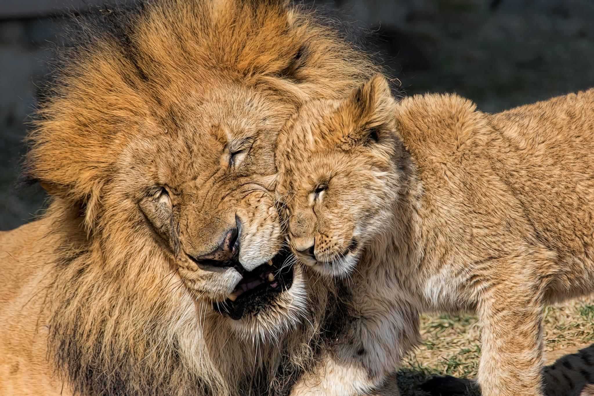 African Lions by John Greg Jr