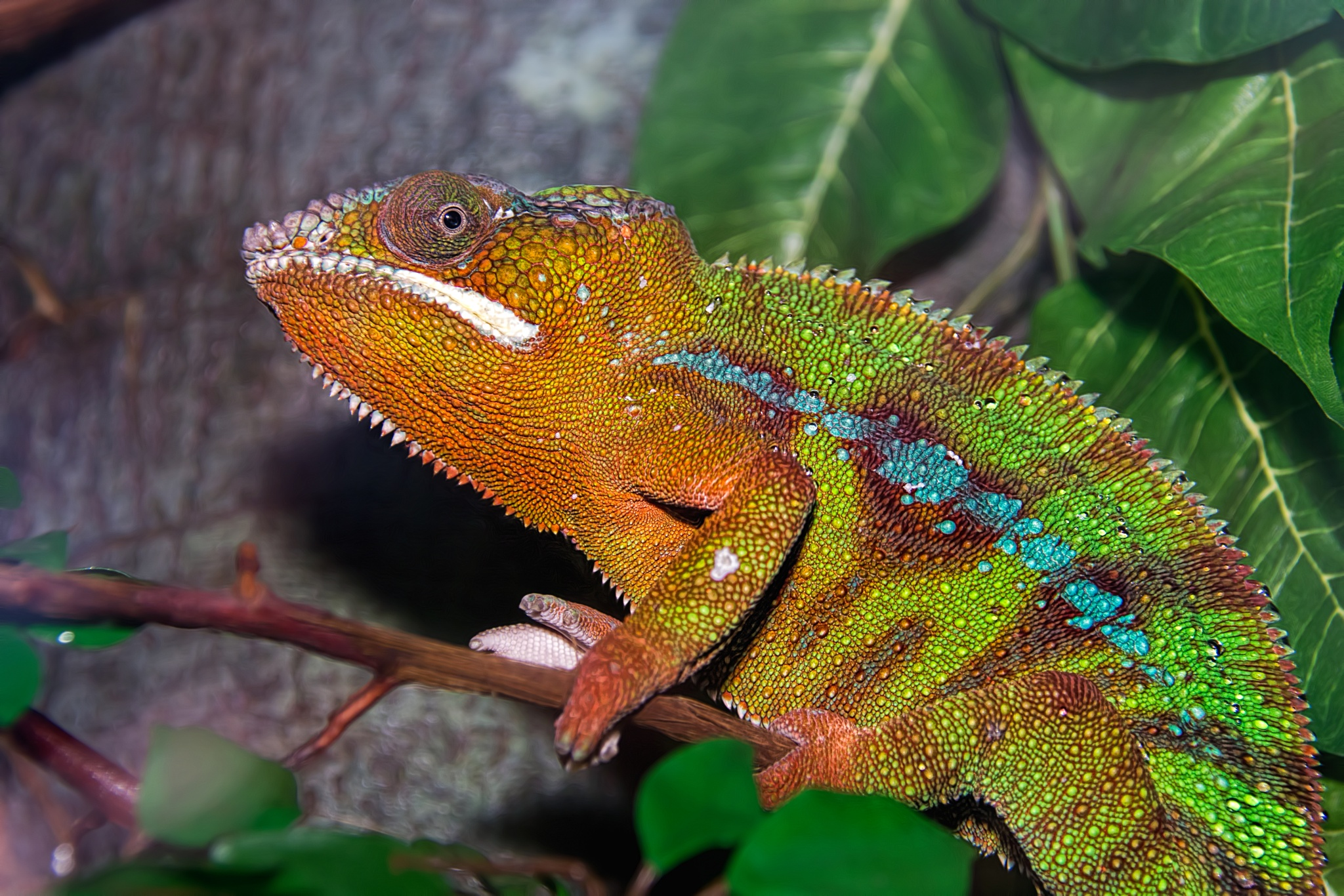 Photo in Animal #animals #cleveland #cleveland metroparks zoo #lizards #ohio #panther chameleon #reptiles #usa #united states #zoo