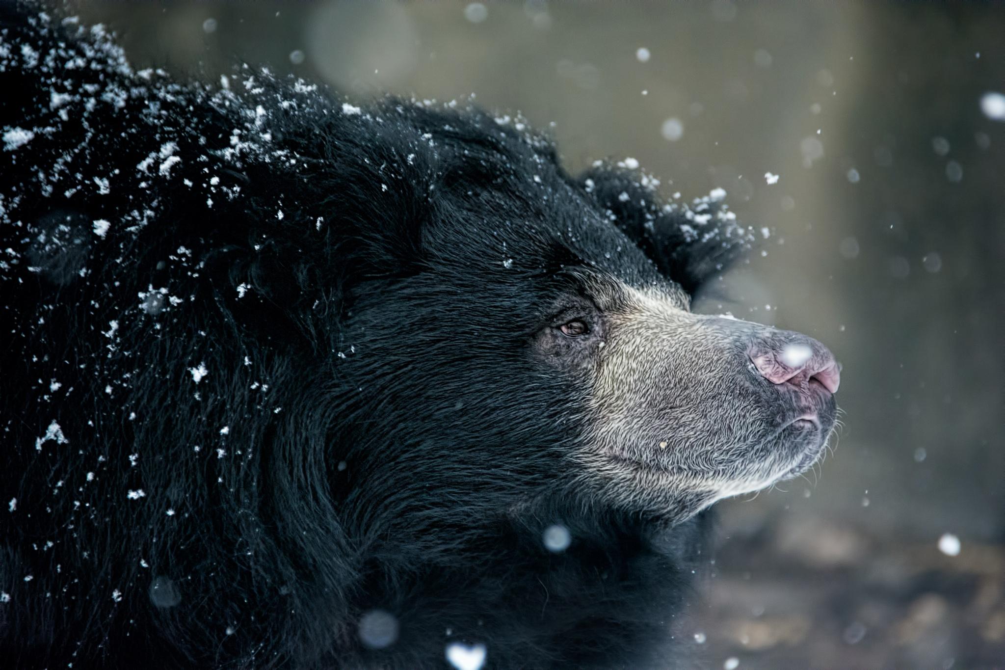 Sloth Bear by John Greg Jr