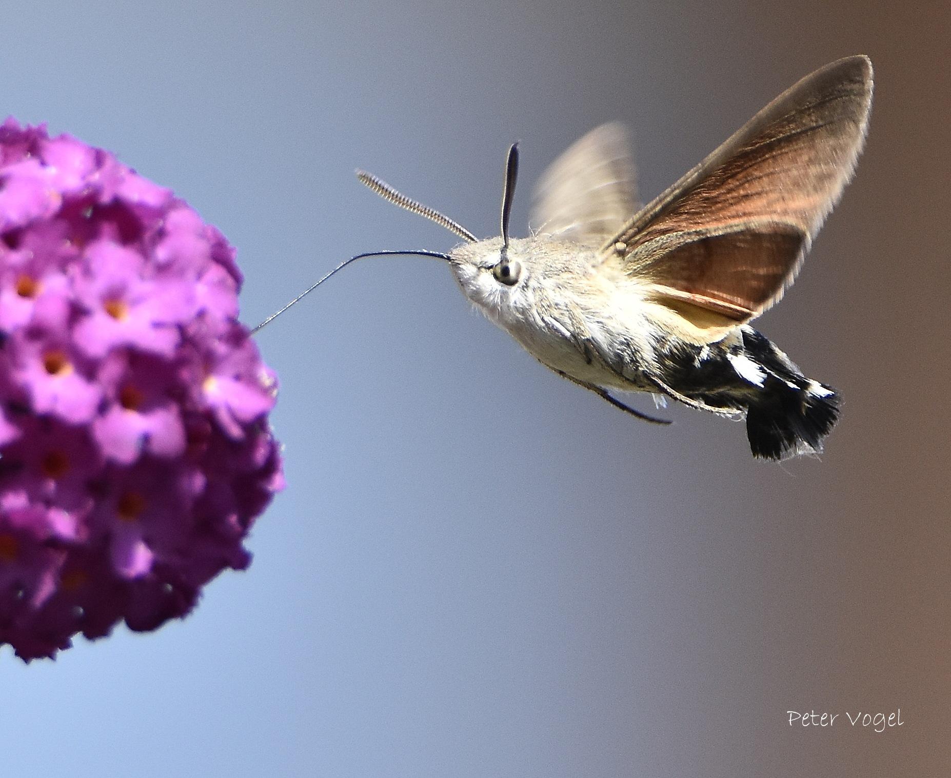 Kolibrievlinder by Peter Vogel