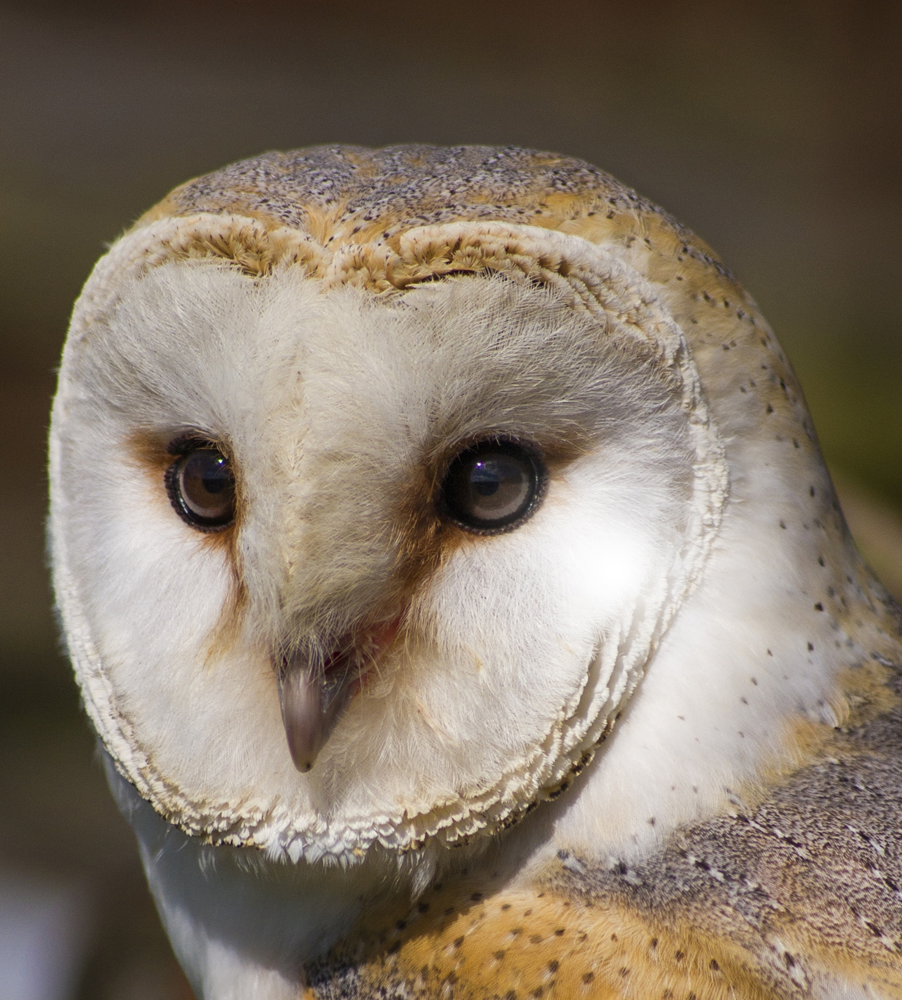 Barn Owl  by Mark A Waller
