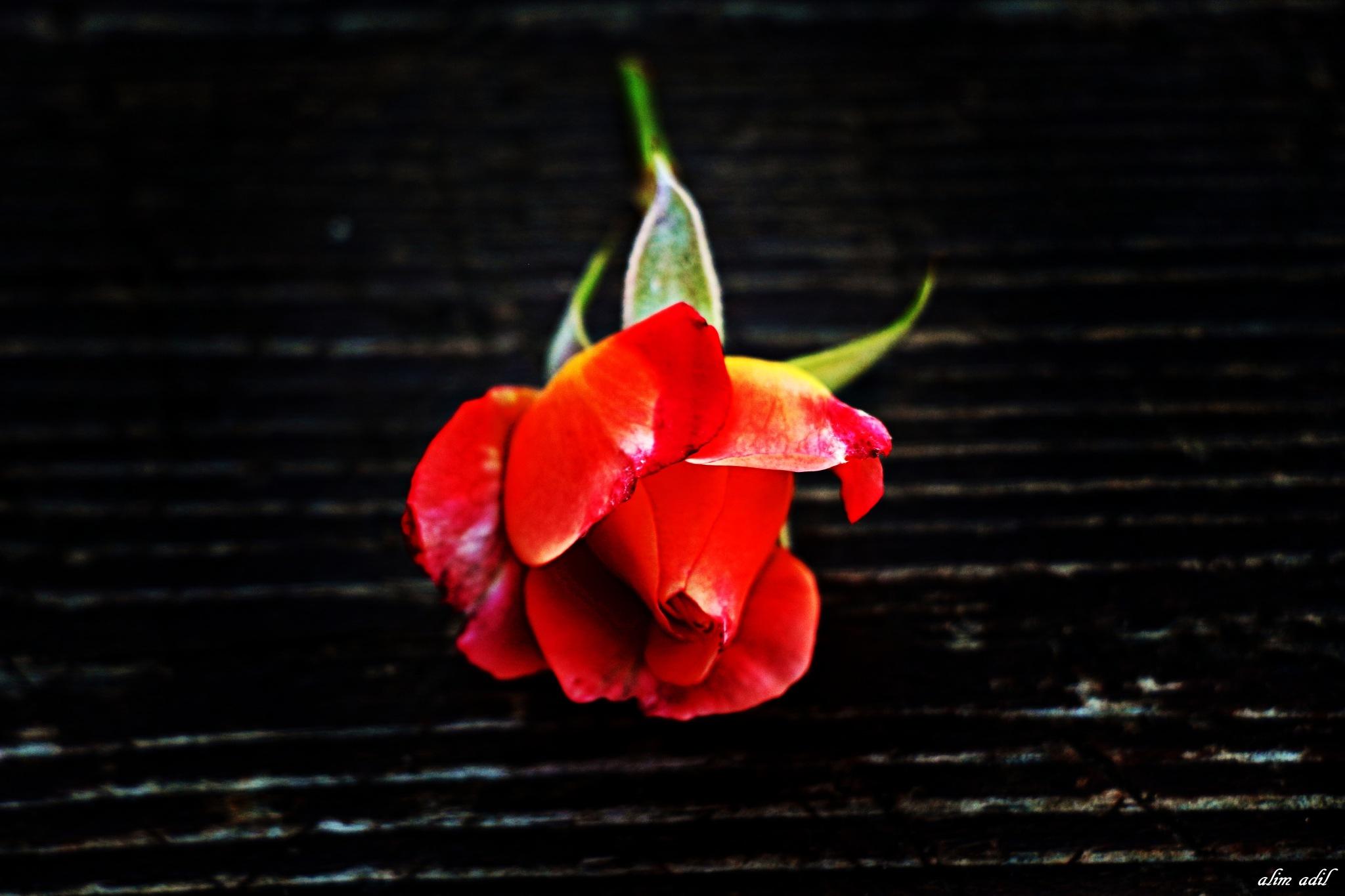 red rose by alim adil