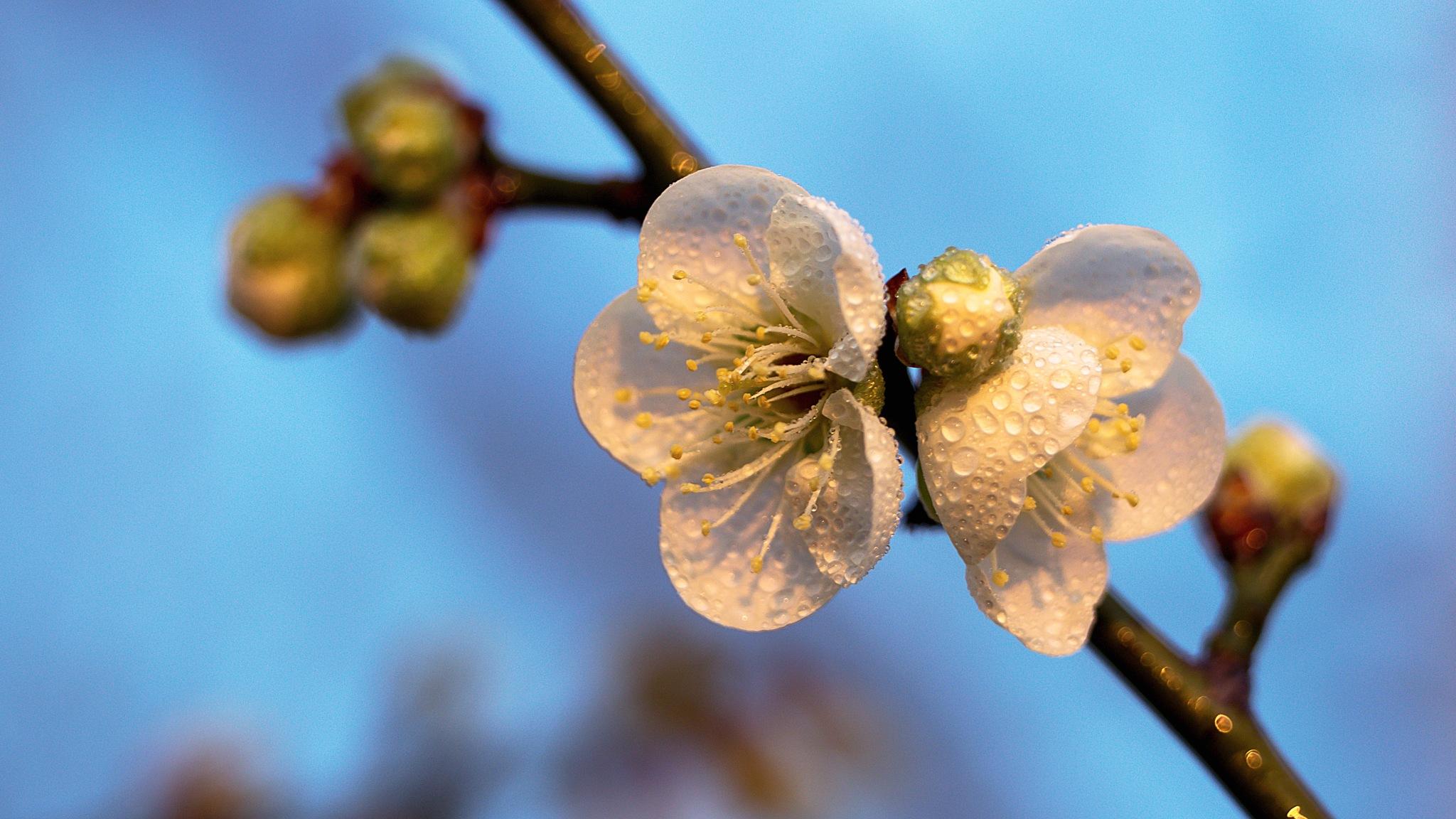 blossom Plum by gorkhe1980
