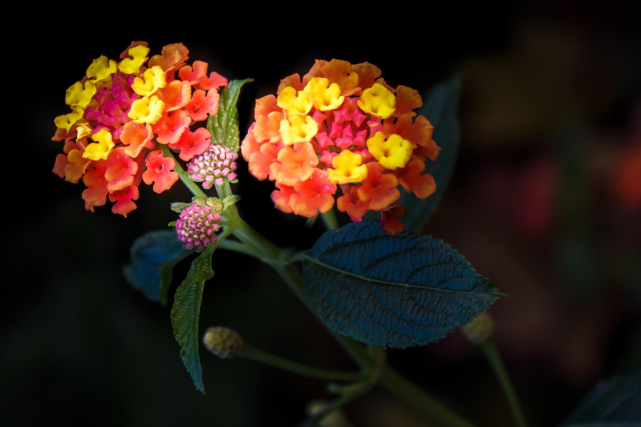 flowers by Germar