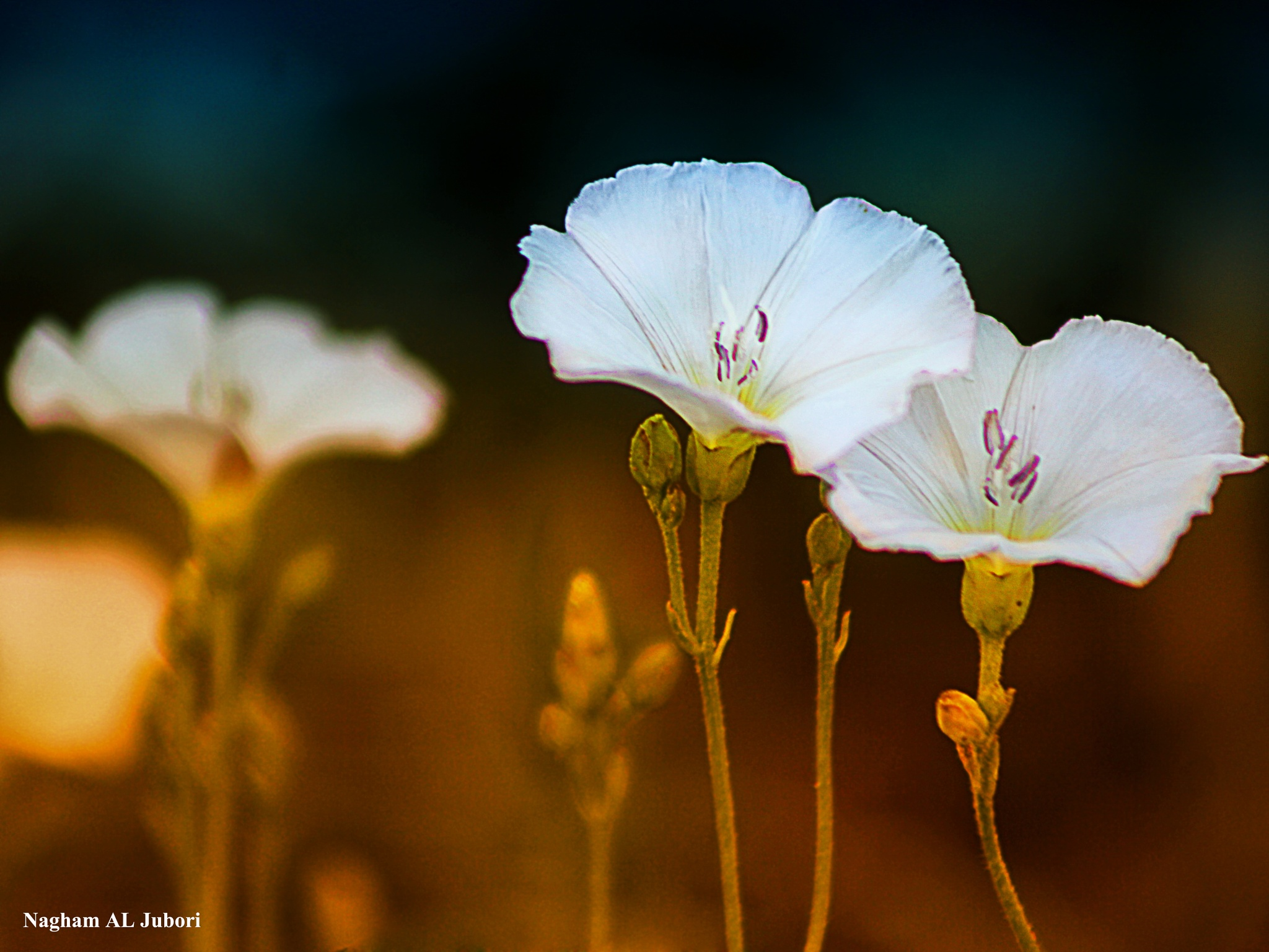 white flowers by Nagham