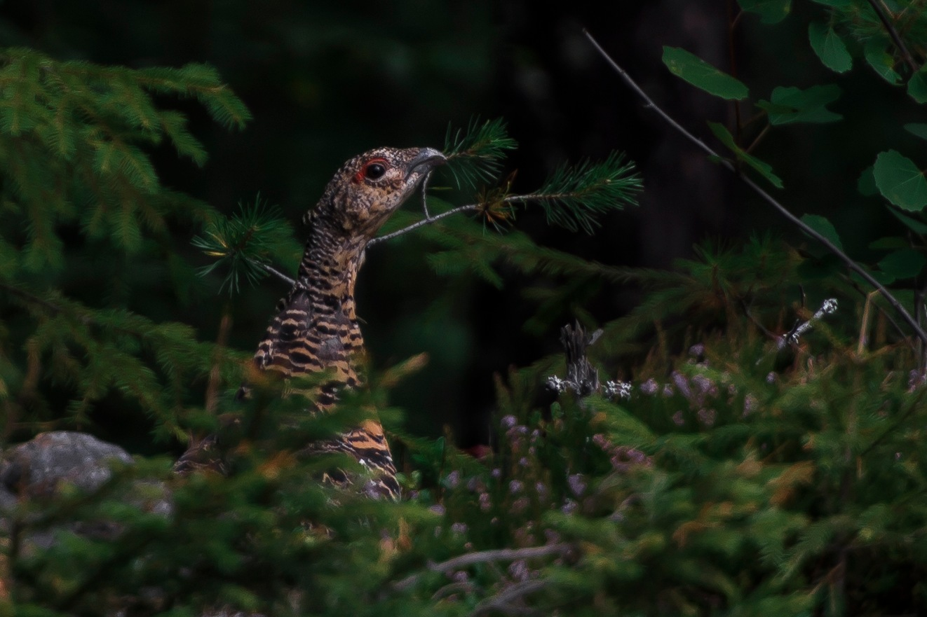 Capercaillie female by Harleybroker